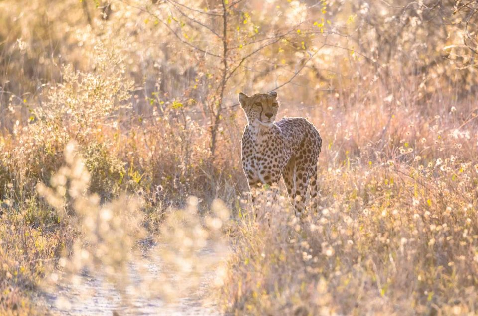 Vi racconto una foto: il Ghepardo (Cheetah) !!!