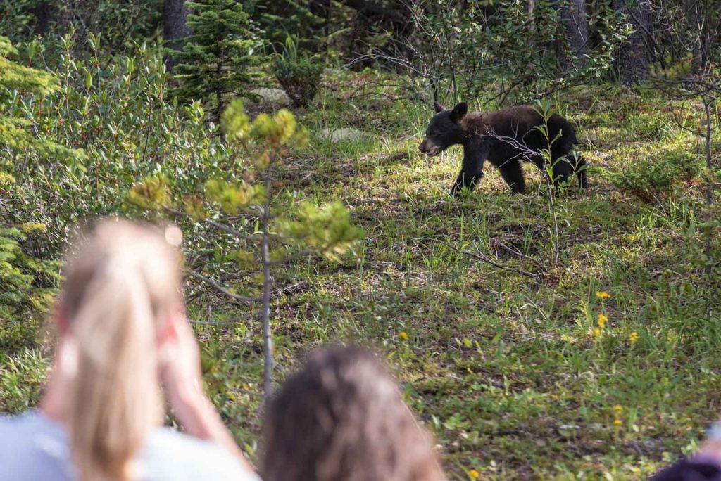 bear-jam-cucciolo