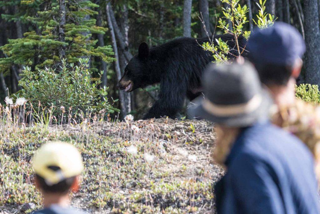 bear-jam-orso-nero