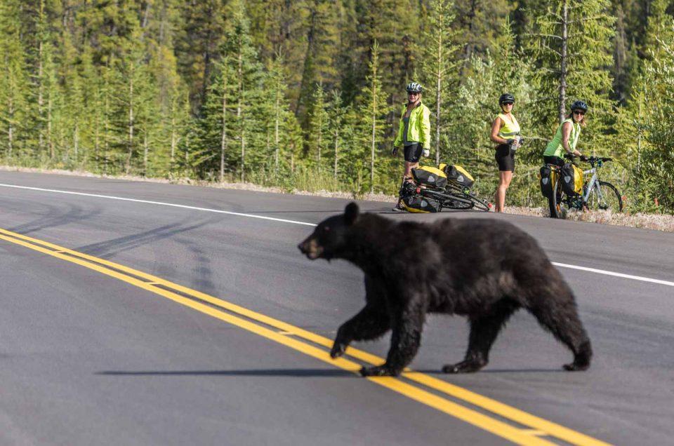 """Bear jam"" e la fauna selvatica nelle rockies!"