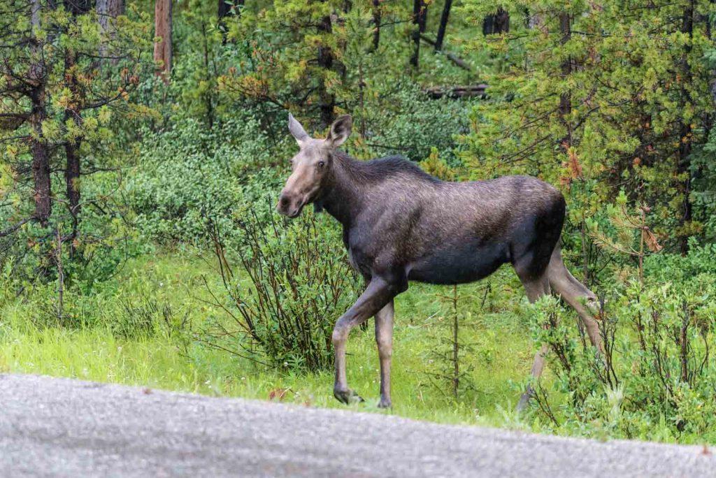 incontri-ravvicinati-con-la-fauna-selvatica-alce-lal-maligne-lake